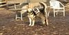 Gussy ( puppy 5 mo ), Maddie_00001