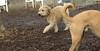 Hank (wheaten pup)_00001