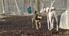 Becky (catahoula), Chase (greyhound)_00001