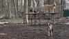 Gussy (puppy), Lucy (PB), Maddie_00001