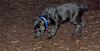 italian mastiff puppy_00003