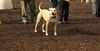 LUCY (pitbull)_00001