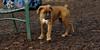 RUBY 3 (puppy)_00005
