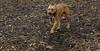 Tiny (pitbull pup)_00004