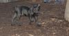 italian mastiff puppy_00002