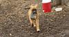 RUBY 3 (puppy)_00001