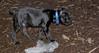 italian mastiff puppy_00004