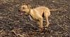 Tiny (pitbull pup)_00003