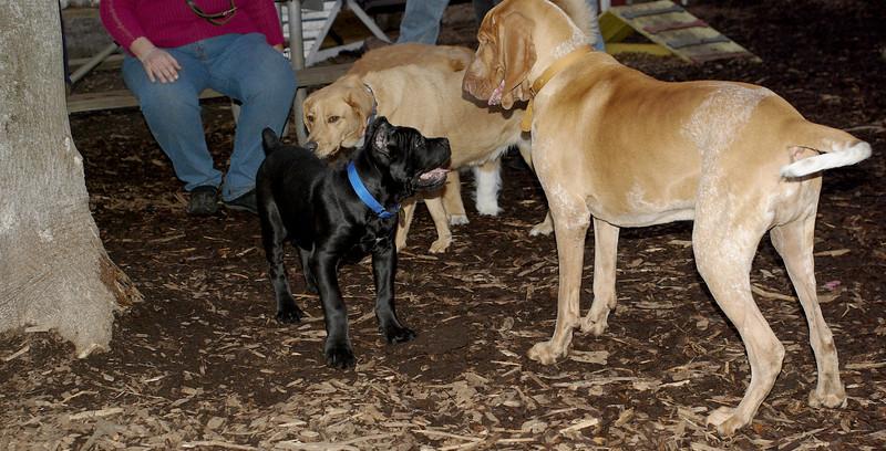italian mastiff puppy_00005