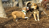 puppies, small dogs_00013