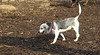 puppies, small dogs_00028