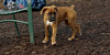 puppies, small dogs_00033