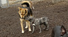 puppies, small dogs_00002