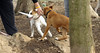 puppies, small dogs_00029