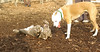 puppies, small dogs_00012