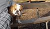 MOLLY (bulldog)_00002