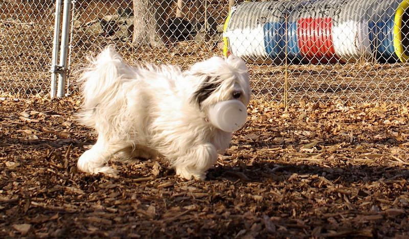 PETEY ( tibetan Terrier )_00002