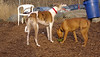 Tiny ( pup ), Chase (greyhound)_00004
