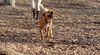 TINY ( pitbull pup )_00001
