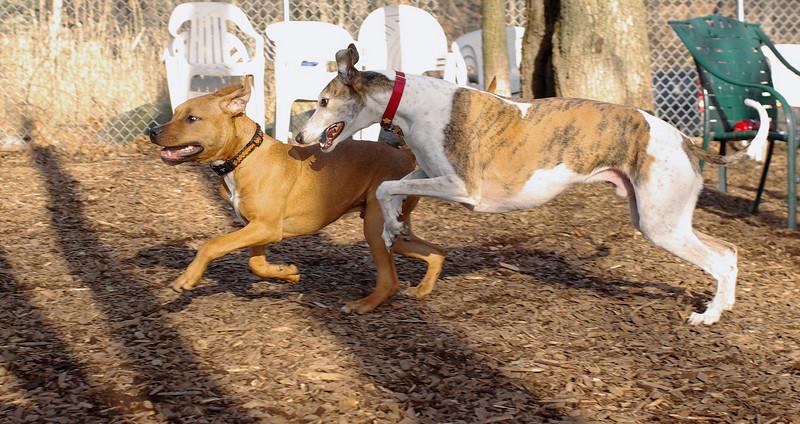 Tiny ( pup ), Chase (greyhound)_00002