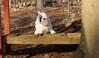 PETEY ( tibetan Terrier )_00001