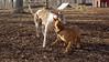 Tiny ( pup ), Chase (greyhound)_00001