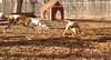 Tiny ( pup ), Chase (greyhound)_00003