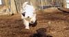 PETEY ( tibetan Terrier )_00003