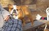 MOLLY (bulldog)_00001