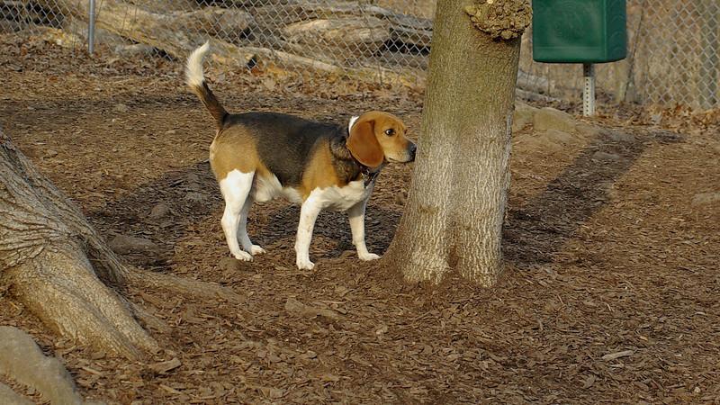 Beagle_00003