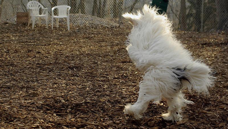 Petey ( samuri sheepdog )_00005