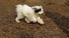 Petey ( samuri sheepdog )_00002