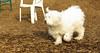 Petey ( samuri sheepdog )_00001