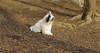 Petey ( samuri sheepdog )_00004