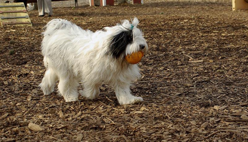 Petey ( samuri sheepdog )_00003