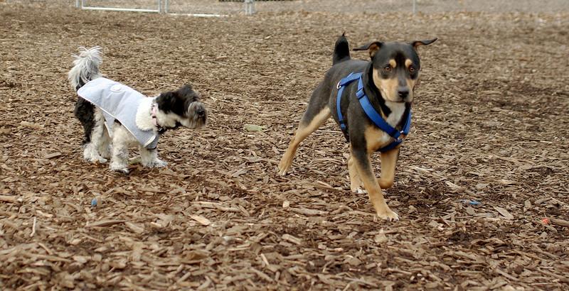 Rocky (new; chiweiler), Roxy (havana silk)