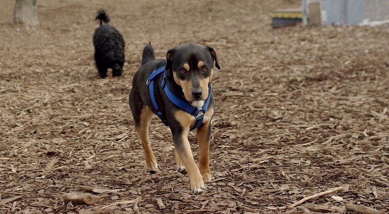 Rocky (new, chiweiler, 1 yr.)