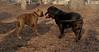 ruby 3 (boxer), Daisy (bassett)_00001
