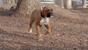 RUBY 3 (puppy boxer)_00002