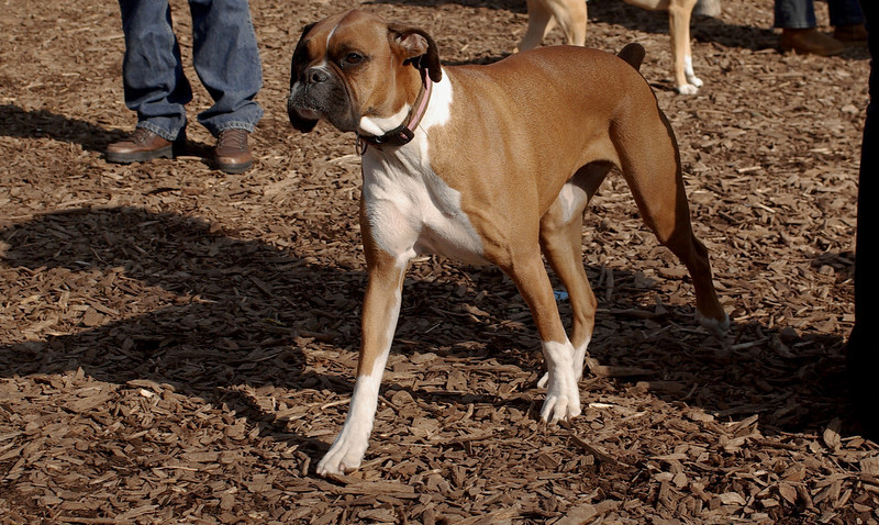 LILY ( boxer )_00001