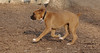 RUBY 3 (puppy boxer)_00001