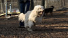 TOBY (goldendoodle)_00005