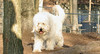 TOBY (goldendoodle)_00001