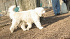 TOBY (goldendoodle)_00002