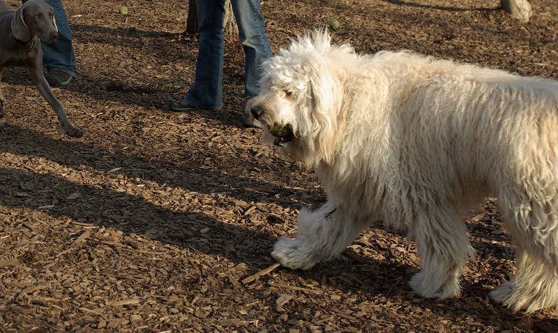TOBY (goldendoodle)_00003