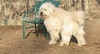 TOBY (goldendoodle)_00004