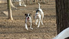 Spike (boxer), Knightly (GH)_00001