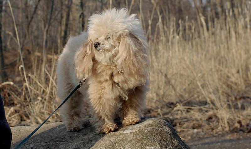 Katie ( toy poodle )_00001