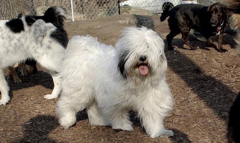 PETEY (tebetan Terrier)_00001