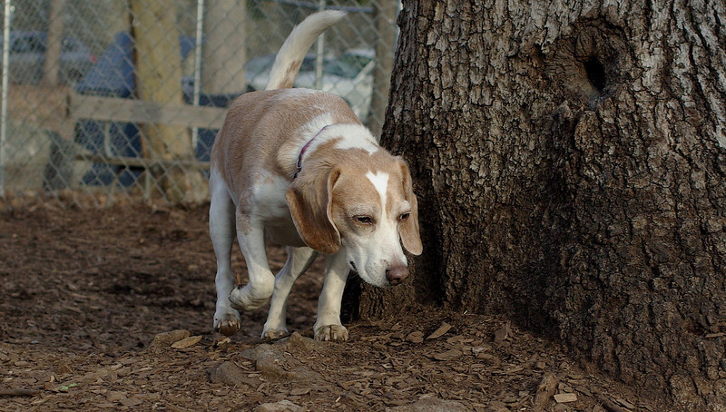 Daisy (lemon beagle)_00006